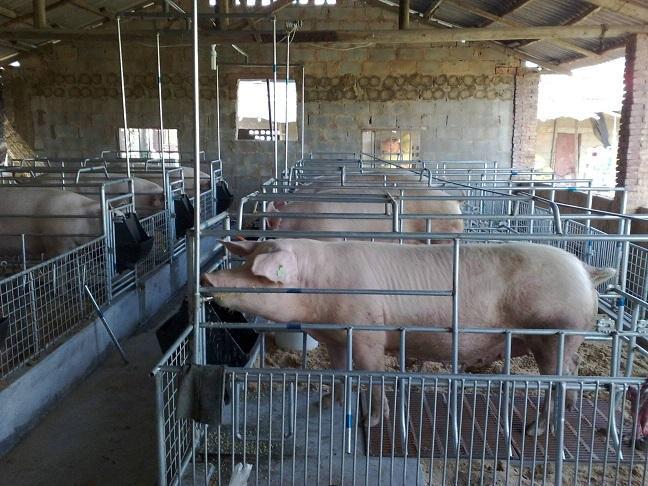 产房母猪生产流程