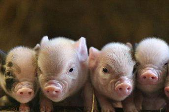 育肥猪的饲养管理