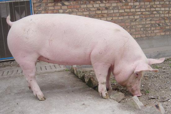 猪为什么会得胀气病?