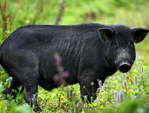猪肌肉震颤的原因是什么?怎么治疗?