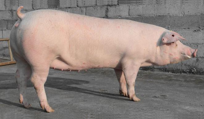 种母猪的饲养管理技术-2