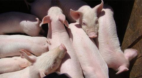 养猪企业纷纷布局 生猪期货走出上攻行情