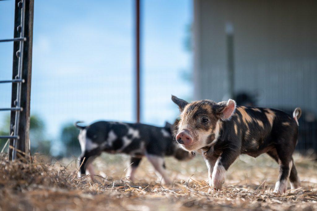 猪病治疗:猪磨牙怎么办?