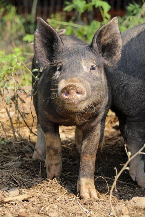 """反转!猪价止跌向涨,并且呈现""""南跌北涨""""的现象"""