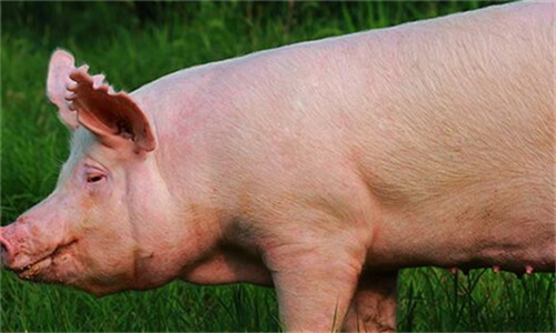 春季养猪有三防 悄悄告诉你,怎么处理才能减少死亡?