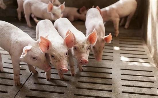 春节前需求支撑猪肉价格持续上涨 抑制猪价涨幅