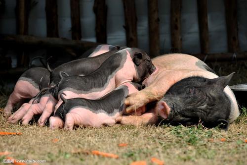 中西医角度防治猪繁殖和呼吸障碍的综合征措施