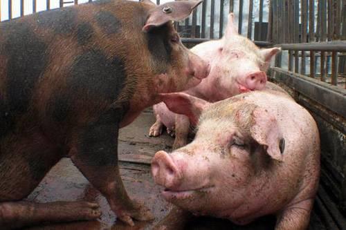 """喂猪上的""""三个不宜"""""""