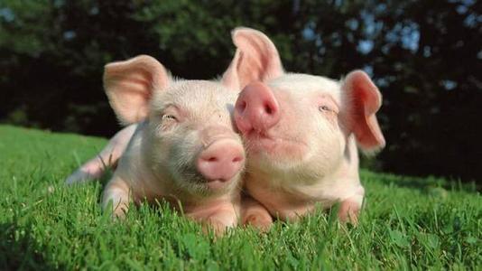 养猪户1年挣5年的钱,屠宰场亏本经营,宰够650头/天才保本?