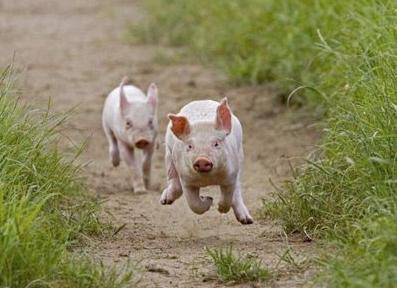 猪场最不容易遇到的病,这猪真是倒霉