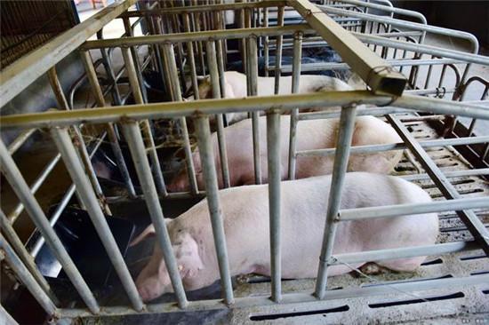 喂猪吃料也是要讲究先后顺序的,顺序错了猪就会长得慢!