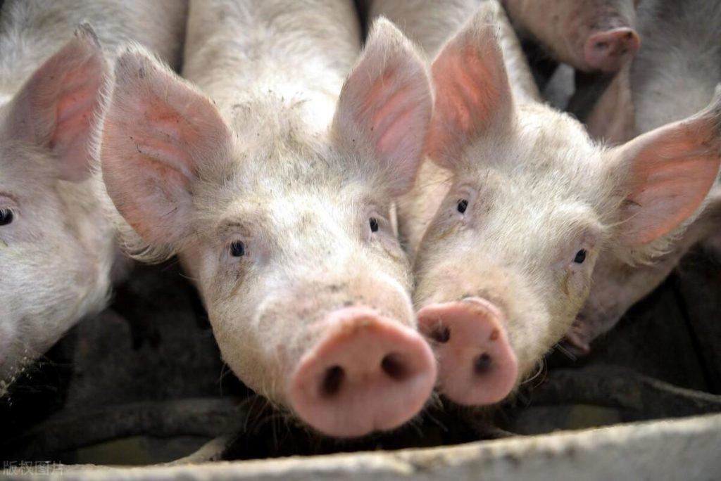 铁饭碗不比养猪香?昔日县长、报社老总,今日变猪倌?