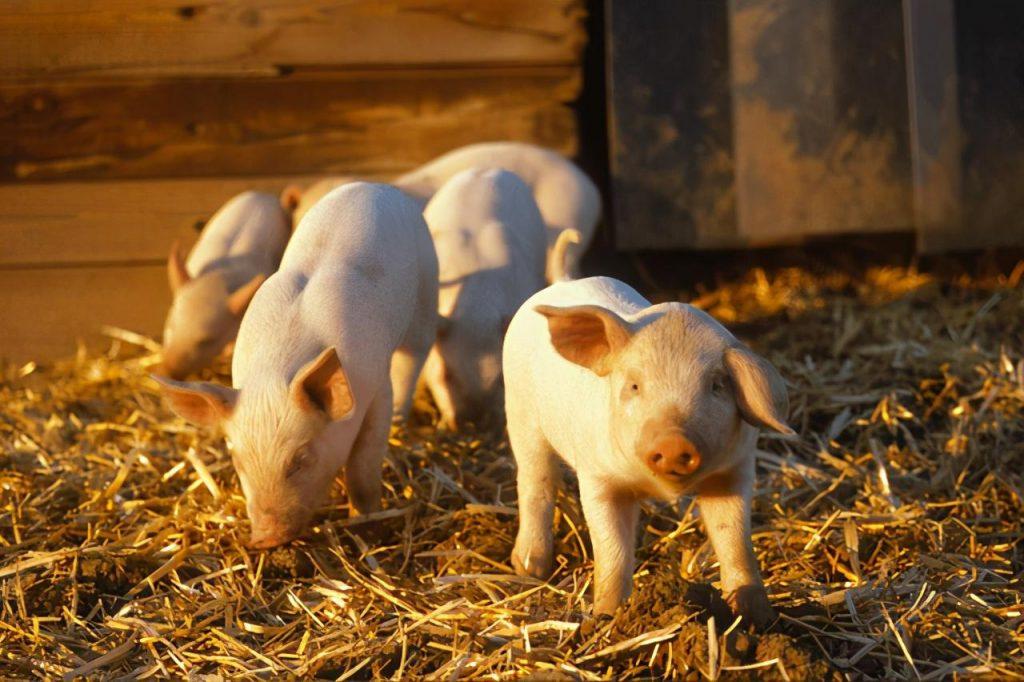 央视深度调查:生猪期货跌停的原因是什么?