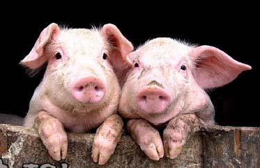 寒冷季节、气温骤变,母猪出现低温后有诀窍