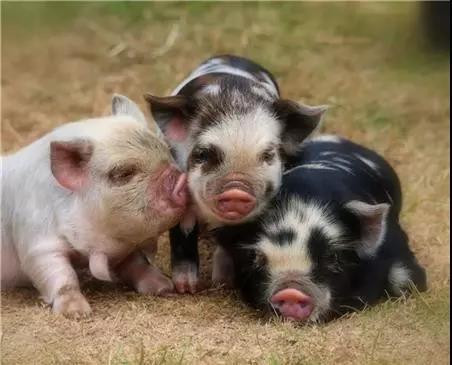 病猪的检查步骤和方法,教你快速识猪病!