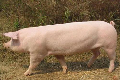 收藏:猪突然死亡,先找这9种病因!