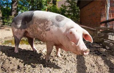 猪出现四肢划水、转圈、死亡率高?是伪狂犬还是脑炎型链球菌?