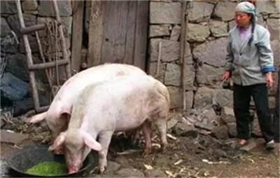 产房仔猪拉稀腹泻频发、久治不愈怎么办?纠正这个问题,杜绝拉稀