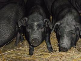 母猪小猪养的不好?你都知道吗?