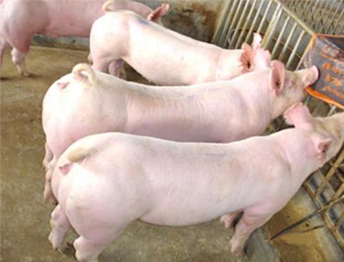 记住不同的增重技巧,四季都能养好猪!建议收藏