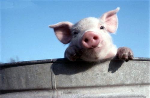 冬春反常天气,忽冷忽热,猪容易感冒,该如何预防?