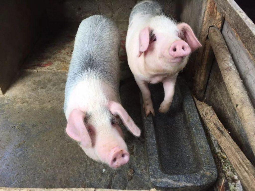 在猪场不可避免的猪弓形体病的症状,以及防治措施
