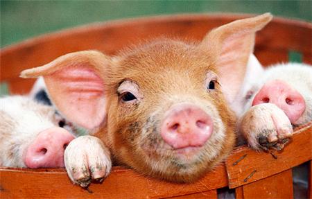 后备母猪的催情管理怎样做?公猪气味剂怎样用?