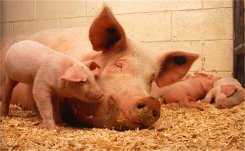 新手养猪户必看,几类典型猪病的快速诊断方法