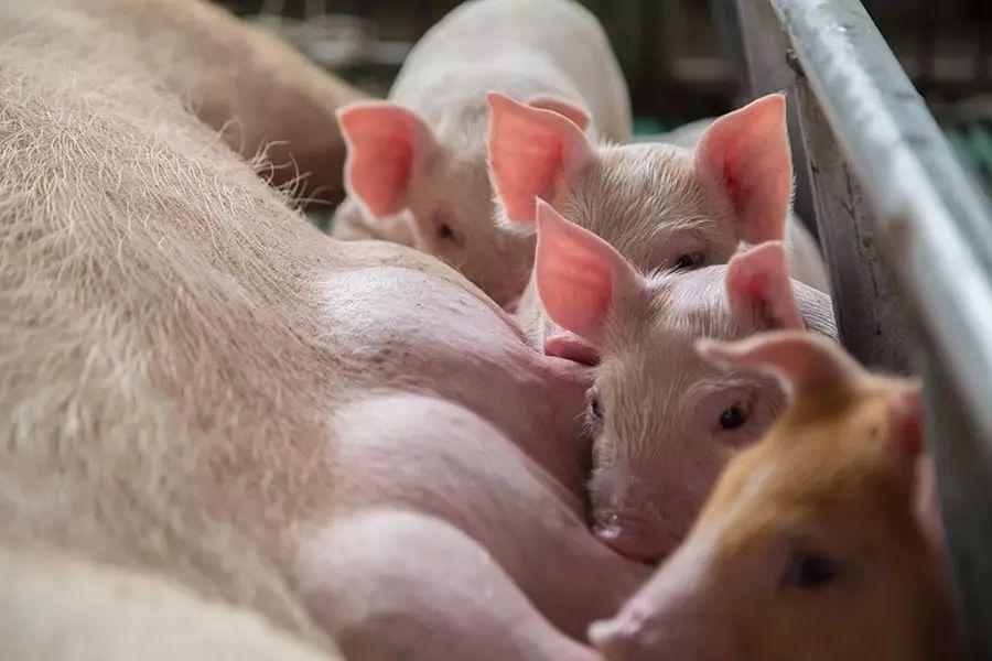 圆环病毒不用怕,养猪人谨记这4点,让你药到病除