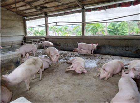 大蒜在养猪中的妙用,可预防治疗多种猪病