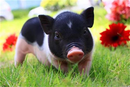 猪价不跌反涨,位居高位!猪企业绩大增?储备冻肉再投?