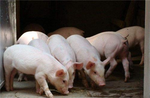 养猪技术分享:仔猪黄白痢发生病源是什么?如何有效预防?