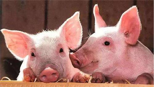 农业农村部:预计今年1-2月份生猪出栏比上年同期增长25%
