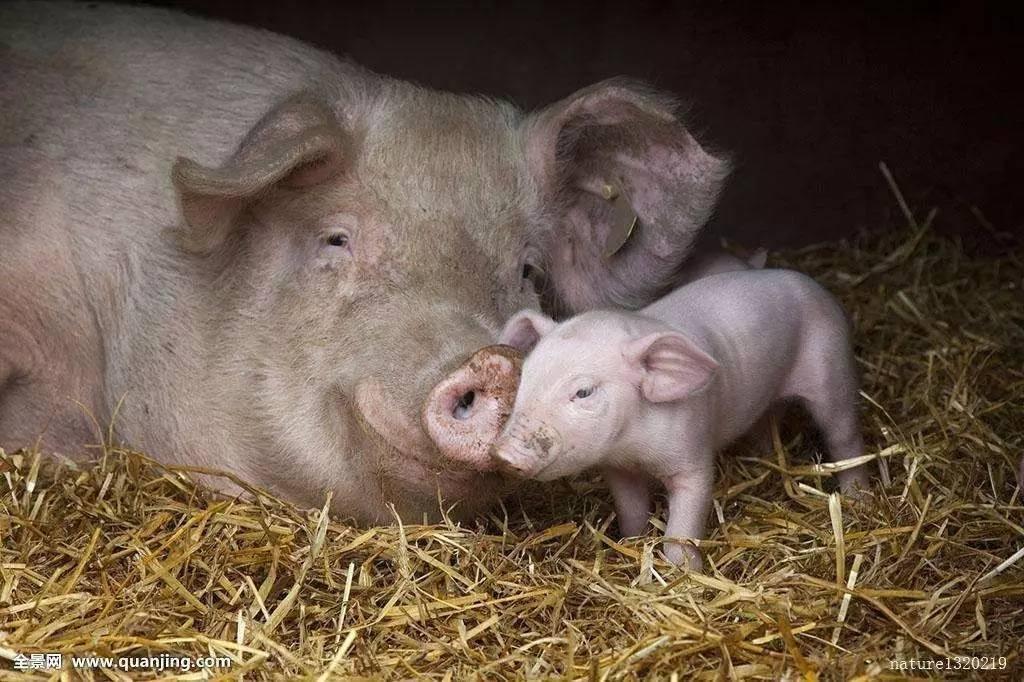 养猪人碰到猪呕吐,这6种情况你要知道