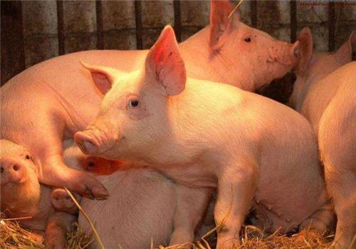 养猪人必看,母猪奶水增加的秘诀,太实用!