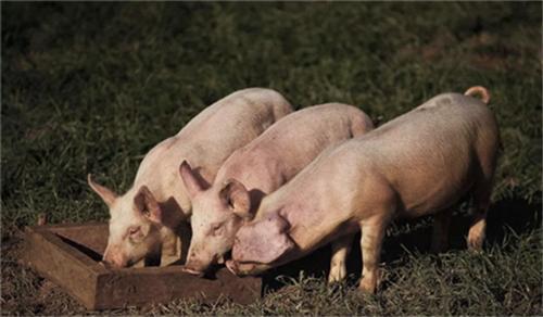 猪的发热发烧是需要按照发热等级治疗