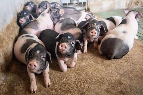 """猪价""""涨猛了""""!储备肉又来3万吨,猪价会跌吗?"""