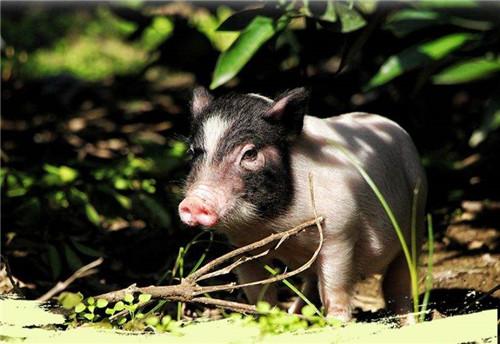 唐人神:禄丰百万头生猪绿色养殖全产业链项目投产
