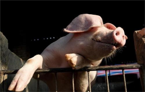 猪病多发,根源到底跟什么有关?