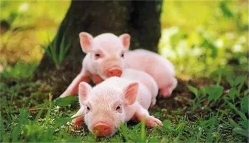 养殖户遇到仔猪拉稀怎么办?这种方法要牢记