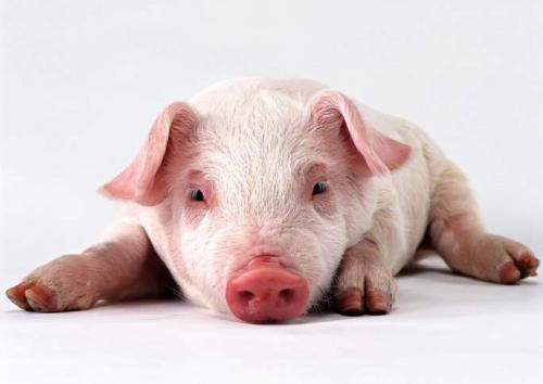 """多地猪价走跌,3万吨冻肉入市,猪价要跌回""""白菜价""""?"""