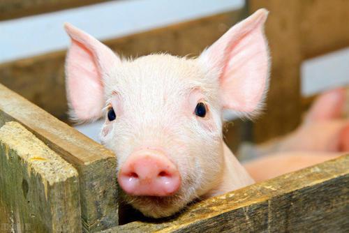 哺乳仔猪体质差,这四种方法帮你解决!