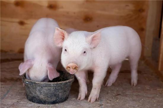 仔猪抖抖病的原因分析及防治!