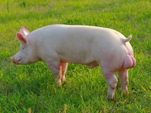 猪舒不舒服他说了算!猪场利润高低也是他说了算!你猜他是谁