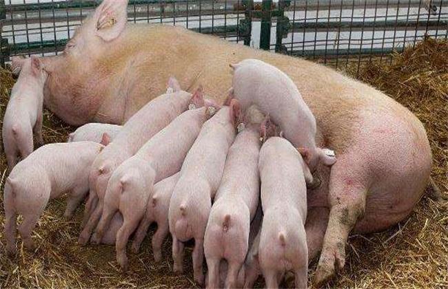 想要二胎母猪多产仔,从头胎就要开始做保健