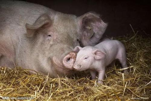 猪病治疗有7大忌,您都知道吗?