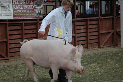 猪羊水破了但却迟迟不见产猪,养猪户怎么办?