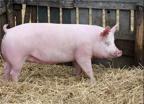 如何治疗猪上吐下泻、抽搐而死?