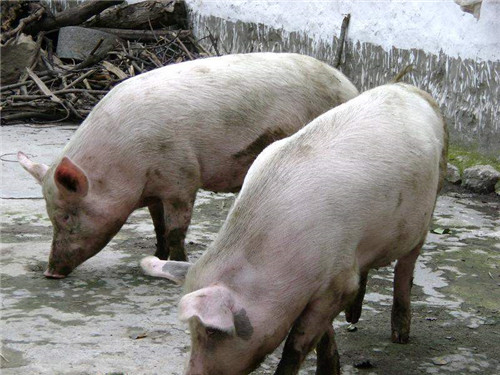 """0%以上的猪场疫情与猪舍空气质量有关,该怎么防控?"""""""