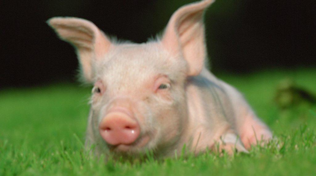 这种病常造成猪剧烈腹泻甚至死亡,怎么防治?
